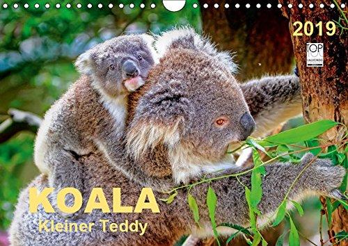 Koala - kleiner Teddy (Wandkalender 2019 DIN A4 quer): Koalas - süße kleine Teddybären (Monatskalender, 14 Seiten ) (CALVENDO Tiere)