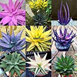 Portal Cool 10 Samen: Canna Lily X Generalis Lucifer Zwergenpflanze 10, 50, 100, 500 oder 1000 Samen