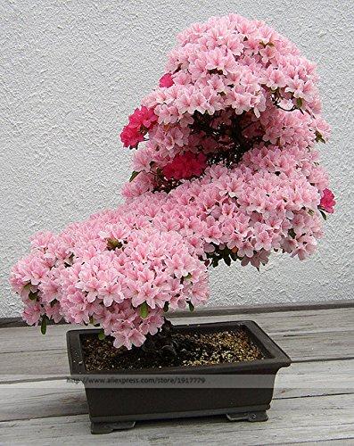 Bonsai Tree japanese sakura seeds. rare Japanese cherry Blossoms flowers seeds in bonsai,pink Prunus Serrulata15 seeds/pack -