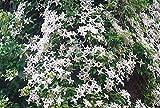 Duft-Clematis - Waldrebe - montana - Wilsonii - pflegeleicht, robust - 40-60 cm