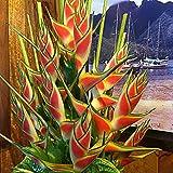 Yukio Samenhaus - Selten Asien 50/100 Stück Mucuna Birdwoodiana Samen Exotischen pflanzen Vogel Blumen Samen Garten Pflanzen Seltenen Blumen Neue Pflanzensamen (100 Stück)