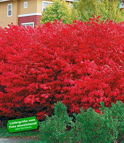 baldur-garten-euyonimus-compact-burning-bush-spindelstrauch-3-pflanzen