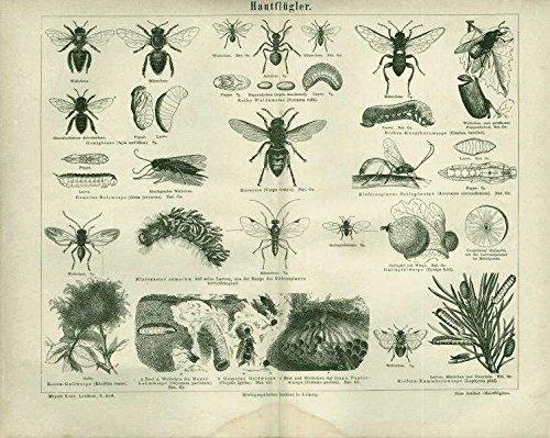 hautflugler-hornisse-wespen-ua-antiker-stich-von-1874