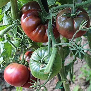 Robuste russische Fleischtomate 10 Samen Azoychka Tomate Früchte bis 350g