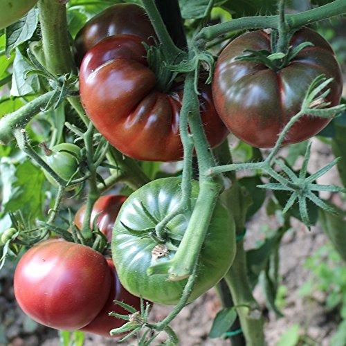 10 Samen Black from Tula Tomate – ukrainische, robuste Sorte