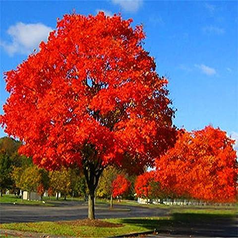 Rare semi Red Oak Tree Quercus Alba Ombra Acorn Semi 5pcs G36 - Inverno Fioritura Alberi