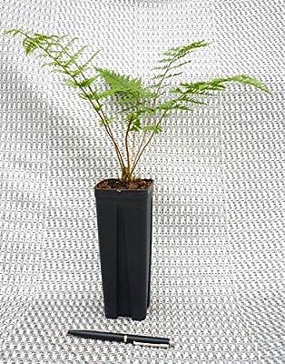 Farn- 10 Stk.- Athyrium filix-femina 'Rotstiel'- Topf: 0,7 ltr. von GardenPalms bei Du und dein Garten