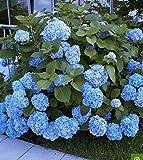 Yukio Samenhaus - Selten 20 Stück Freiland-Hortensie winterhart Blumensamen Bauernhortensie Hydrangea macrophylla Gartenhortensien