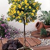 Dominik Blumen und Pflanzen, Fünffingerstrauch zum Stämmchen gezogen gelb blühend, 2 Pflanzen, 3 Liter Container, 60-80 cm hoch, plus 1 Paar Handschuhe gratis