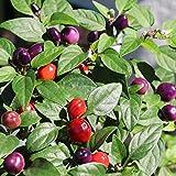 10 Samen Filius Blue Chili – perfekte Topfpflanze durch kompakten Wuchs
