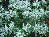 Euphorbia marginata - Amerikanisches Edelweiß - 10 Samen