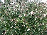 Abelia Grandiflora Pianta in vaso di Abelia Grandiflora - 5 Piante in vaso 7x7