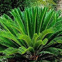 TOPmountain Sago Palm Tree Seed Iron Tree Seed Shrub Plant Grower Pot Plant For Garden Home Yard Decoration,1Pcs
