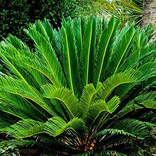 Indoor-sago Palm (SSXY Sago Palm Tree Seed, Eisen Baum Samen Strauch Pflanze Kräuter Pflanzen Topfpflanze Für Indoor/Outdoor Dekoration, 1 Stücke)