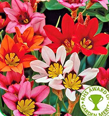 Sparaxis Bulbs (harlequin Flowers) x 20 Mixed Colours OGD265