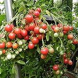10 Samen Himbeerrose Tomate - ertragreiche Hängetomate, saftig