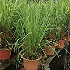 Live Citronella Grass Herb Plants For Home Garden Mosquito Repellent Plant