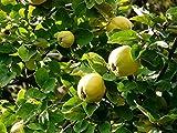 Quittenbaum Obstbaum Cydonia oblanga Quitte 'Apfelquitte' als Terassenobst ca. 40cm Stammhöhe im Topf gewachsen