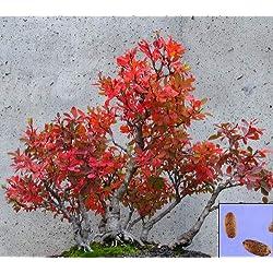 Portal Cool Rote Berberitze - Berberis Thunbergii - Atropur. - 60 Samen - ideal für Bonsa # 970# 2