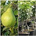 Zwergbirne Helenchen, kleinbleibender Birnenbaum, zwergwüchsig, ca. 60 - 80 cm im 7,5 Liter Topf von Grüner Garten Shop auf Du und dein Garten