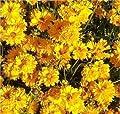 Mädchenauge Sonnenkind - Coreopsis grandiflora von Baumschule - Du und dein Garten