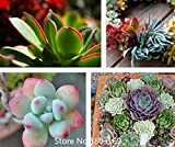 2016 100pcs semi haworthii Aeonium rare Pianta grassa semi Mix di colori