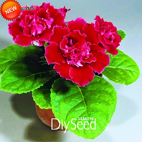 Time-Limit !! Red Gloxinia Graines vivaces plantes à fleurs Sinningia Speciosa Bonsai Balcon pour jardin, 100 PCS / Pack