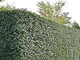 5 Stk. Liguster Atrovirens 3 bis 5 Triebe - Ligusterhecke Wurzelware 80-120 cm hoch - Ligustrum vulgare Atrovirens - Garten von Ehren®