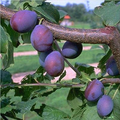 Zwetschenbaum Toptaste ® Kulinaria saftig aromatisch Zwetsche Buschbaum 120-150 cm Topf St.Julien A von Grüner Garten Shop - Du und dein Garten