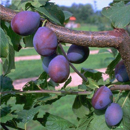 Müllers Grüner Garten Shop Toptaste ® Kulinaria saftig aromatisch Zwetsche Buschbaum 120-150 cm 9,5 Liter Topf St.Julien A