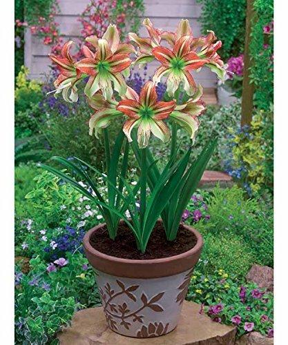 Willemse France 3 Amaryllis de jardin 'Rascal'