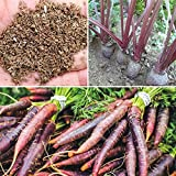 Rosepoem 500pcs drago viola carota Semi Heirloom fai da te giardino Semi orticoltura
