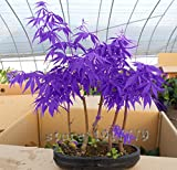 30pcs / lila japanische Ahornsamen, seltener Indoor-Bonsai Baumsamen. Haus & Garten lila japanischer Ahorn. Gratisversand
