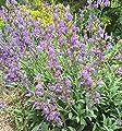Spanische Salbei - Salvia lavandulifolia von Baumschulen auf Du und dein Garten