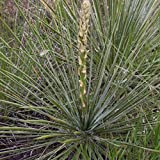 Soapweed Yucca Seeds (Yucca glauca) 20+ Rare Medicinal Herb Seeds + FREE Bonus 6 Variety Seed Pack - a $29.95 Value Packed in FROZEN SEED CAPSULES for Growing Seeds Now or Saving Seeds for Years
