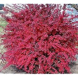 Portal Cool Kaufen 3 2 Freie japanische Zier Berberitze Berberis thunbergii 100 Stück Samen Erhalten