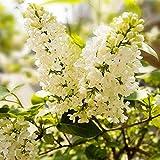 100 PC / bag Farbe Japanische Flieder Seeds (Extremely Fragrant) Nelke Blumensamen Bonsai als Geschenk Anlage für Heim & Garten leicht 5 wachsen