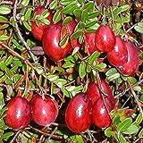 Müllers Grüner Garten Shop Cranberry Kranichbeere Moosbeere Moorpflanze großfrüchtige Granberrypflanze im 3,5 Liter Topf
