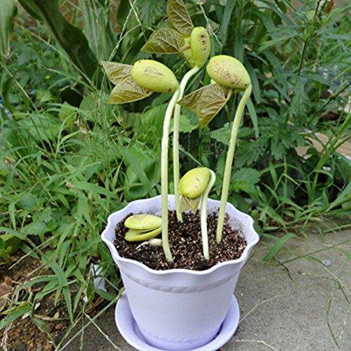 Growing 100pcs / lot Graines Mini Magic haricots blancs usine cadeau Accueil message Bureau de mot d'amour