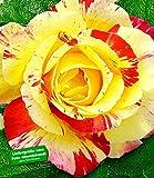 BALDUR-Garten Delbard® Malerrosen® 'Camille Pissaro®', 1 Pflanze Edelrose