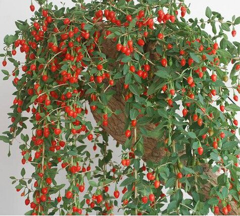 2016 Fresh 200pcs Organic Goji Berry Seeds Lycium Ruthenicum Murr