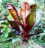Future Exotics Ensete ventricosum Maurelii rote Abyssian Banane 75 - 80 cm