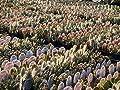 Kakteengarten 6 verschiedene winterharte Opuntien/ Feigenkaktus im Set -9cm Topf von Eigenproduktion bei Du und dein Garten