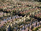 Kakteengarten 6 verschiedene winterharte Opuntien/ Feigenkaktus im Set -9cm Topf