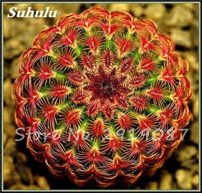 100 Pcs vrai Cactus Seeds, Mini Cactus, Figuier, japonais Succulentes Bonsai Graines de fleurs, Plante en pot pour jardin 10