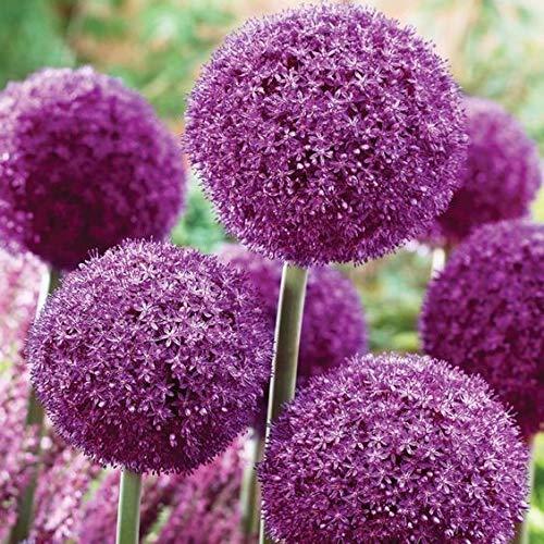 SOTEER Seltene Riesen zierlauch Blumen Samen Garten Bunte Allium giganteum Samen - 30 Samen/Pack