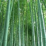 Riesenbambus (Moso Bambus) / 100 Samen / winterhart / wächst 10 Meter in Rekordgeschwindigkeit / Ideal als Sichtschutz & Windschutz