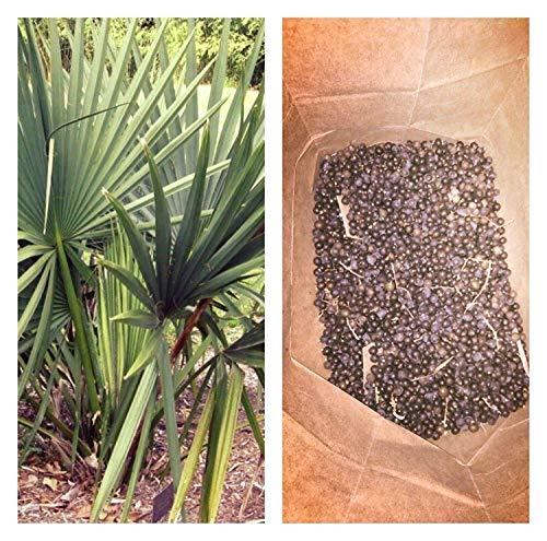 Keimfutter: Sabal Minor Dwarf Palmetto Cold Hardy- 50 Samen