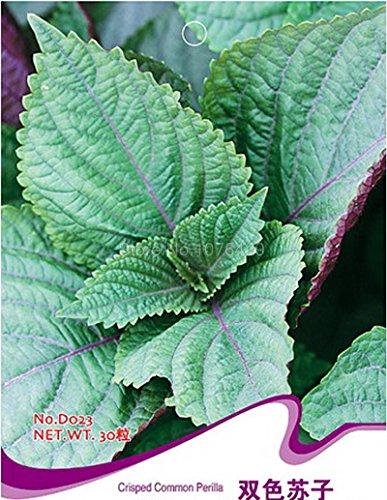 Crisped gemeiner Perilla sät Zwei-Farben Frutescens Aromatische Pflanzen D023