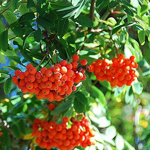 Dominik Blumen und Pflanzen, Eberesche, Vogelbeere, trägt rote Beeren, 2 Pflanzen, 30 – 40 cm hoch, 2 Liter Container, plus 1 Paar Handschuhe gratis